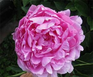 Ruth, AKA Sarah Bernhardt, peony flower