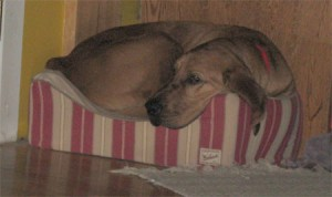 big dog in tiny bed