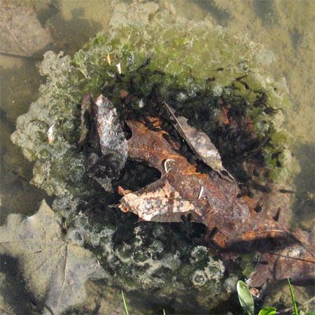 tadpole cluster