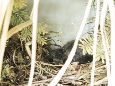 junco babies