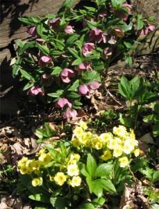 Primrose & Lenten Rose