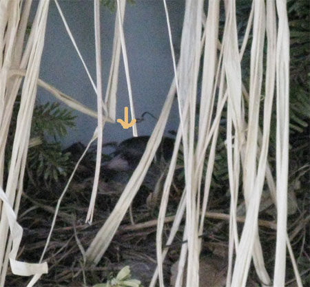 phoebe nest closeup