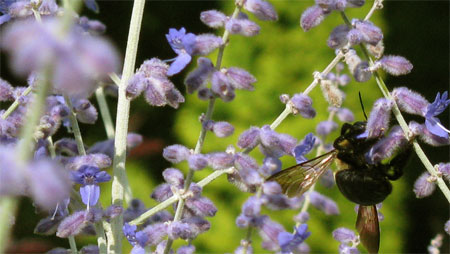 Russian sage and bee
