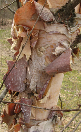 wood: exfoliating bark