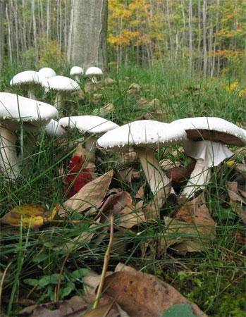 mushrooms marching