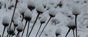 echinacea snow caps