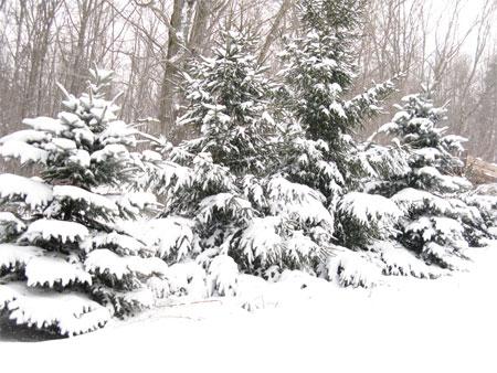 driveway spruce