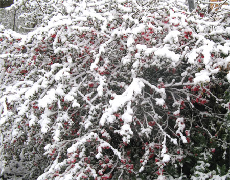 quince in snow