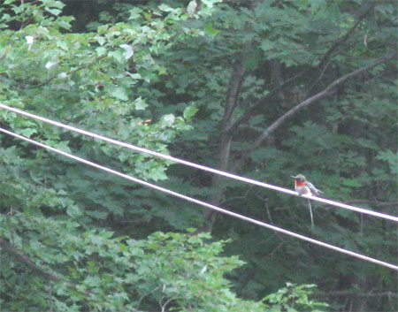 hummingbird on line