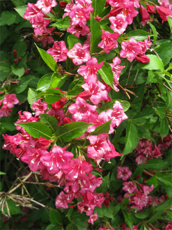 weigela closeup