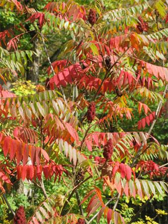 sumac in autumn