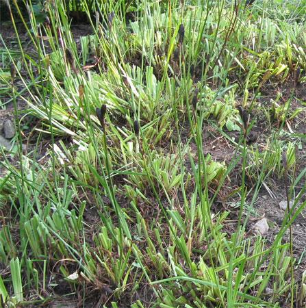 Siberian iris after
