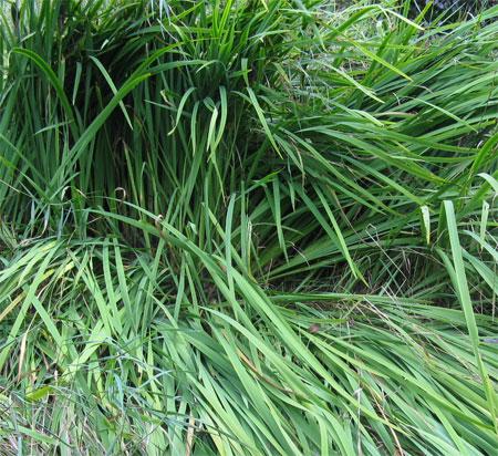 Siberian iris before