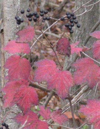 cohosh leaves & berries