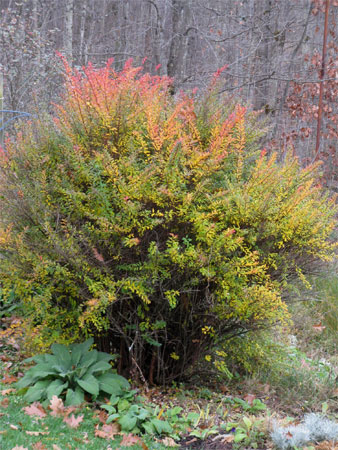 spirea in fall