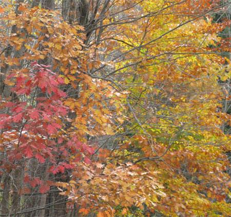 oaks of many colors