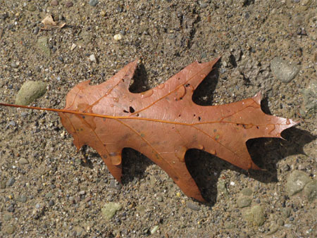 oak leaf & shadow