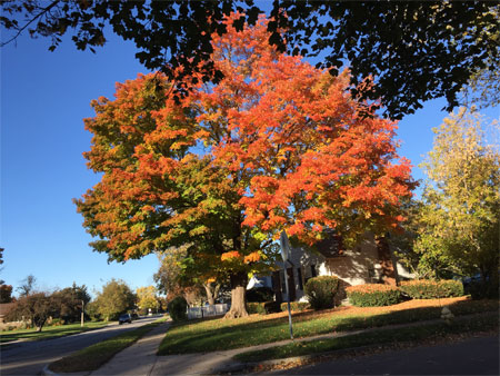 maple tree in full color