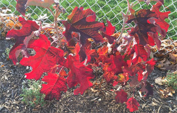 oakleaf hydrangea turns red