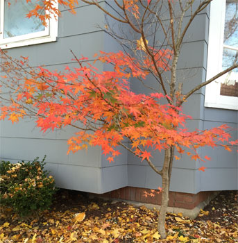 variegated maple turns orange