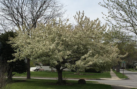 white crabtree