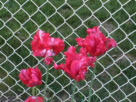 parrot tulips gone red