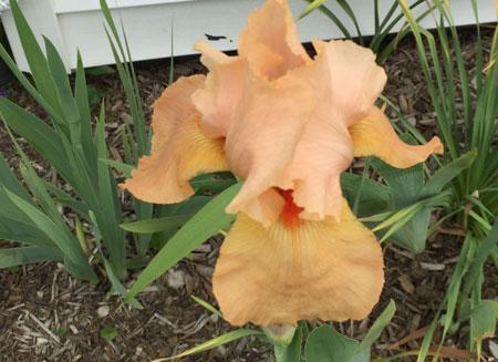 peach sorbet iris