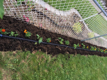 tomatoes planted