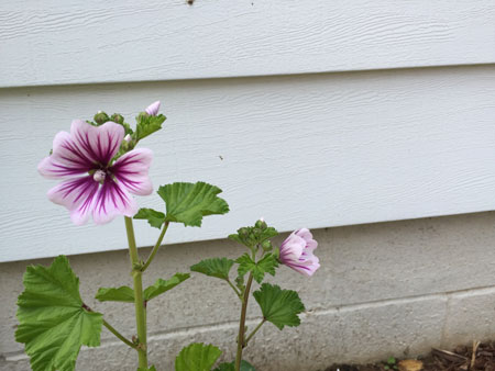 mallow bloom