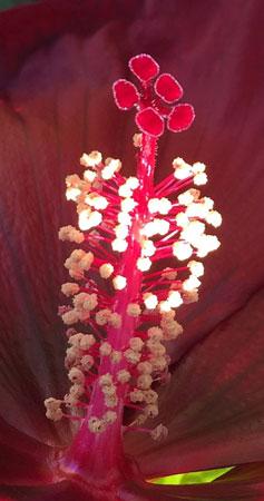 alien hibiscus stamen
