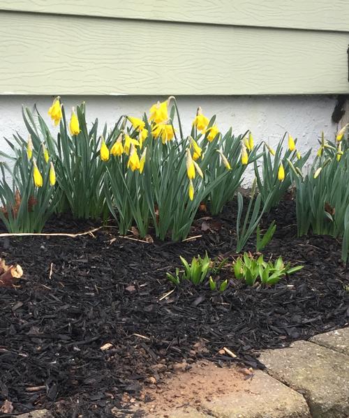 first daffodils, March 2020