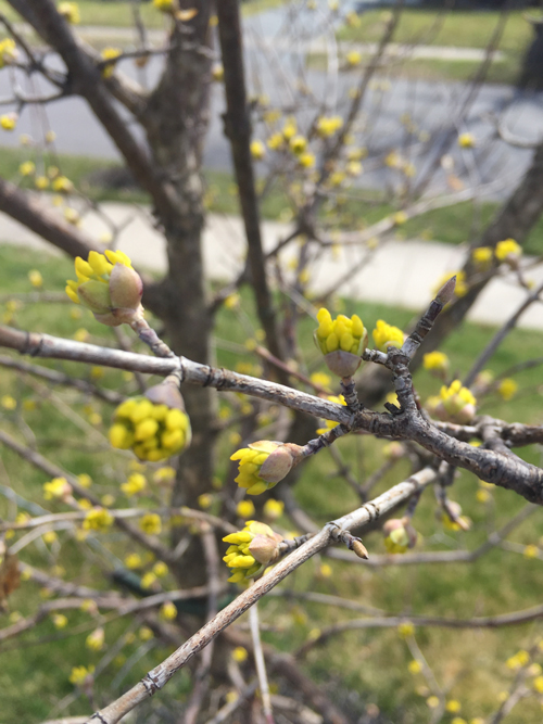 buds on a Cornelian Cherry